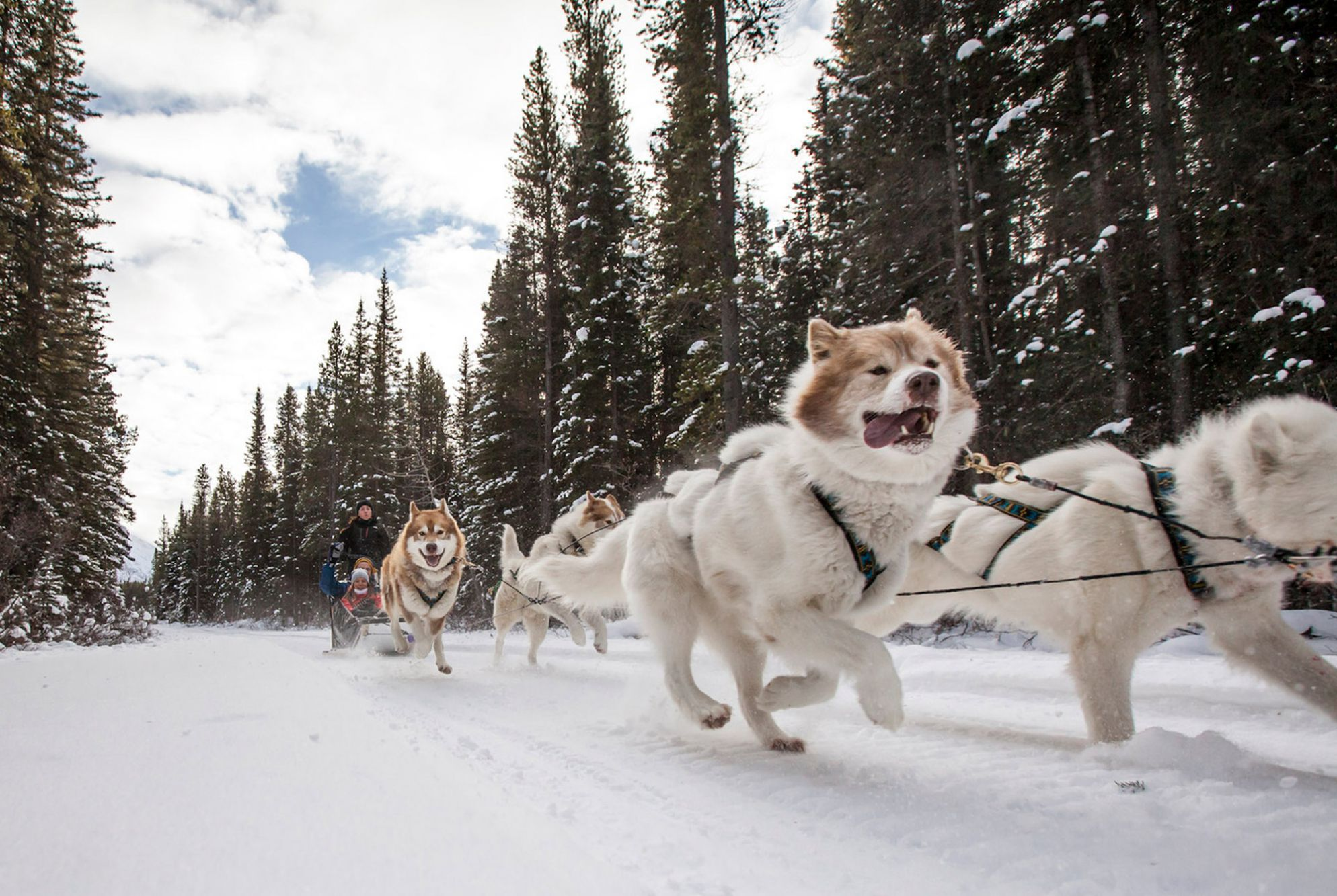dog sled rides of winter park - HD 1988×1333