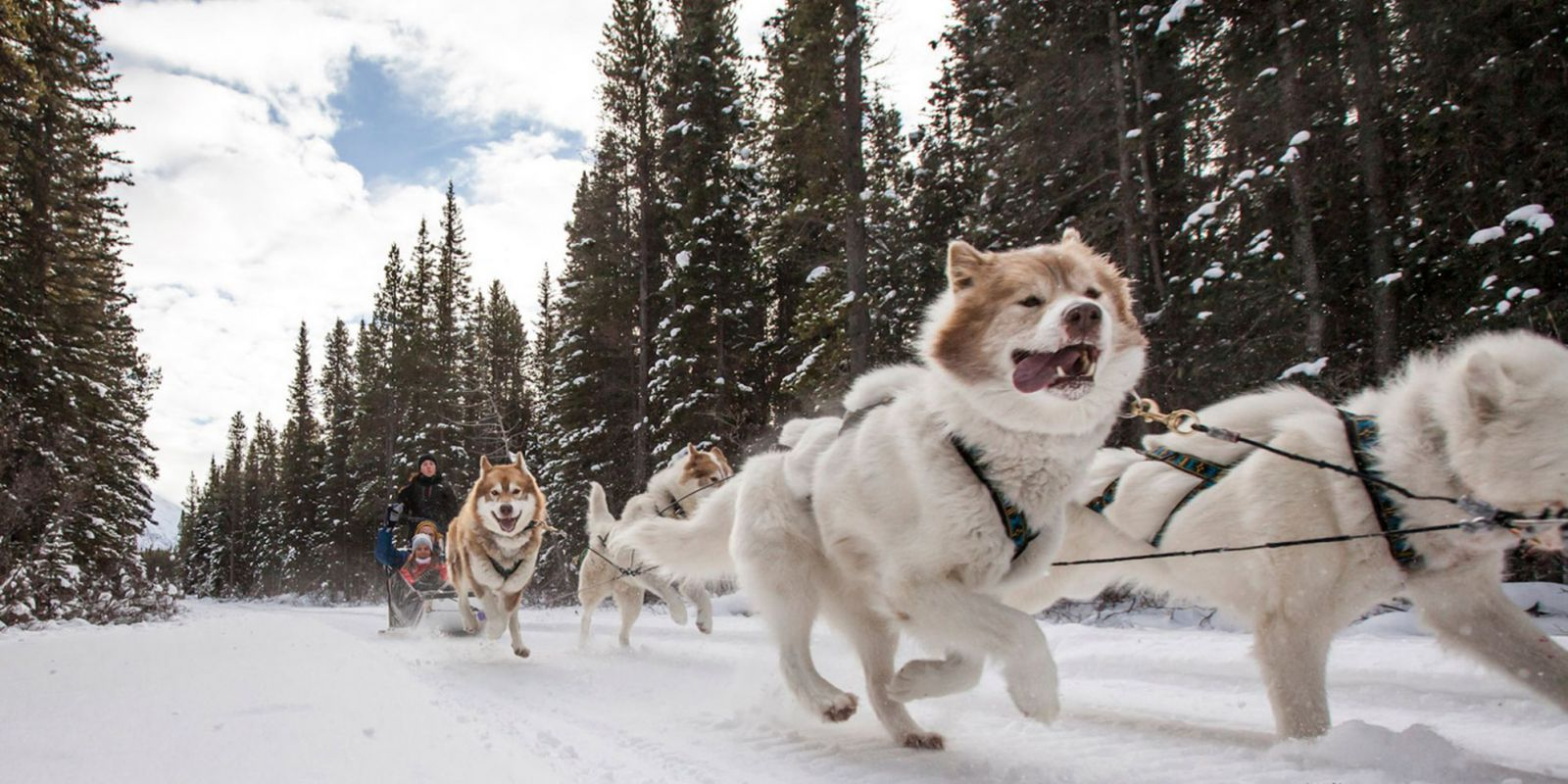 Best Sled Dogs