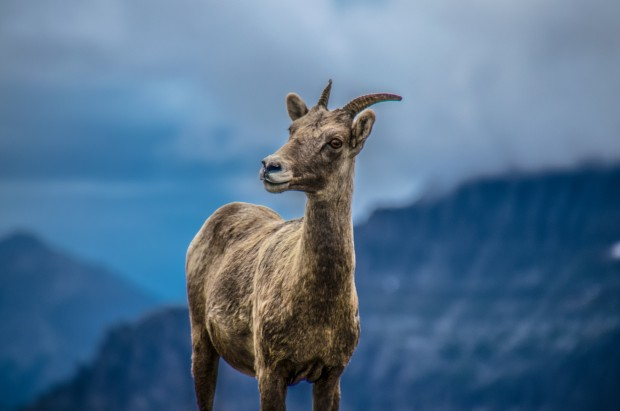 Big Horn Sheep 1 Faye Baldock